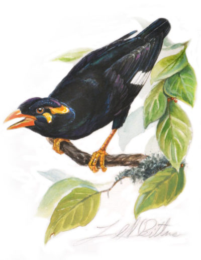 Philippine Myna